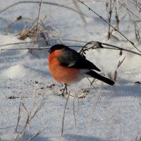 Снегирь. :: Victor Klyuchev
