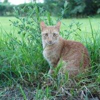Тунисский кот :: Юлия Иванова (Константинова)