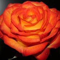 Роза. :: Надежда Баликова