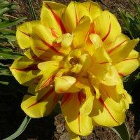 жёлтый тюльпан :: Владимир