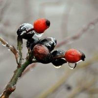 Замерзший шиповник :: Карине Чрикян