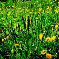 Одуванчики-трава... :: Артём Бояринцев