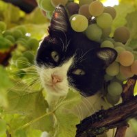 Виноградный кот :: Виолетта