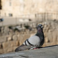 Голубь на стене старого Иерусалима :: Владимир Горубин