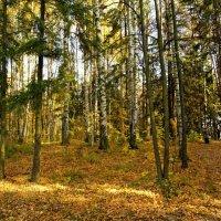 Меж берез и сосен тихо ходит осень..... :: Наталия Короткова
