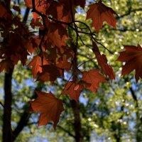 Красный клен.. :: ФотоЛюбка *