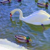 Зима и лебеди :: Marina Marina