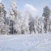 И лес сквозь иней зеленеет... :: Алексей Хаустов