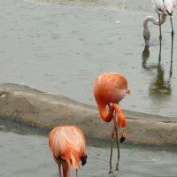 фламинго :: наталья грачева