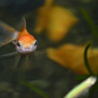 золотая рыбка :: Юля