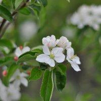 Яблоня весной :: Андрей Иванов