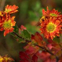 Отцвели уж, давно хризантемы в саду..... :: ФотоЛюбка *
