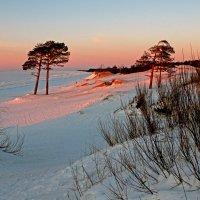 Белое море. Сосны на дюнах :: Владимир Шибинский