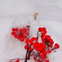 Рябина в снегу :: Юрий Владимирович 34