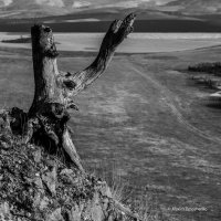 Старое дерево :: Максим Тимошенко