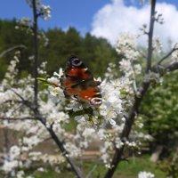 Бабочка :: sayany0567@bk.ru