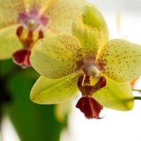 Орхидея. :: Aleksandr Geraimovich