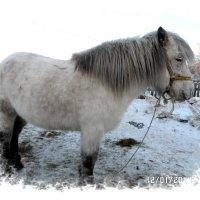 Якутская лошадь :: Владимир Сеннябилев