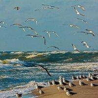 Балтийские чайки :: Владимир Самсонов