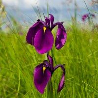 Полевые цветы :: Константин Н.
