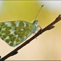 Белянка рапсовая (Pontia daplidice) :: Spaniot .