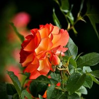 Королева цветов :: Наталия Короткова