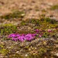 растительность Исландии :: Вячеслав Ковригин
