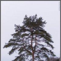 Сосна в павловском парке :: vadim