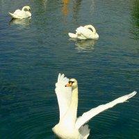 лебединое озеро1 :: Ольга Тумаева