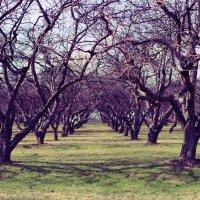 Яблоневый сад :: Мария Бродская (Гурьянова)