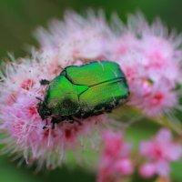 Из мира насекомых :: Александр Коликов