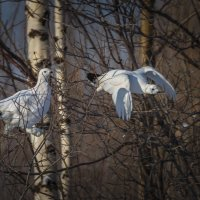 Белые куропатки :: Георгий Кулаковский