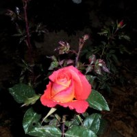 роза ночью :: Юрий Владимирович