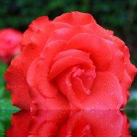 Роза. :: Николай