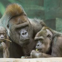 Семейное счастье горилл :: Дмитрий Сушкин
