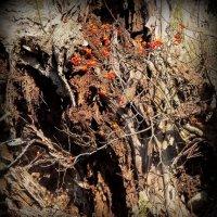 Старое гнилое дерево :: anna borisova