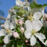 Яблоня в цвету... :: Римма Т