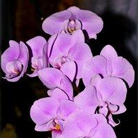 орхидея :: Александр Максименко