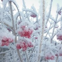Зимняя рябина :: Gu Safina