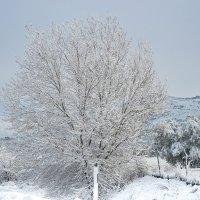 Снежное дерево на юге Испании :: Ирина