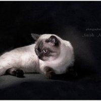 Британский котёнок... :: Natali Mavlyutova