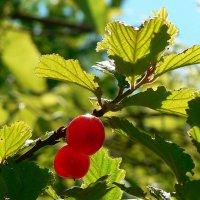 Войлочная вишня :: Алла Рыженко
