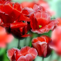 Такие разные тюльпаны :: Наталья Лакомова