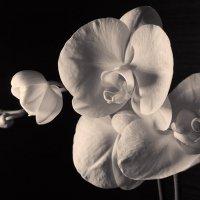 Орхидея :: Olga Gladkova