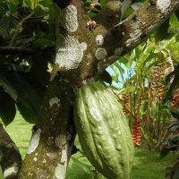 Шоколадное дерево :: Александр Карапунарлы