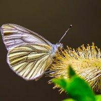 Бабочка белянка :: Анатолий Клепешнёв