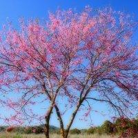 Цветёт иудино дерево :: Владимир Сарычев