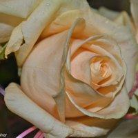 Роза :: Маша Муха