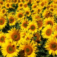 солнечные цветы-3 :: Богдан Вовк