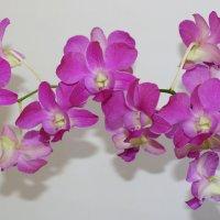 Орхидея. :: Елена Багрий